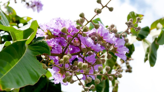 Monochrome colorful violet color flower with petals, crape or myrtle flowers, asian botanic garden, queen of tropical leaf close up. Detail of a giant crape plant, a beautiful violet color queen myrtle flowers in bloom outdoors in a summer day in a park. Also known as banaba.