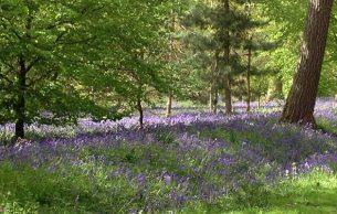 Hodsock bluebell woods