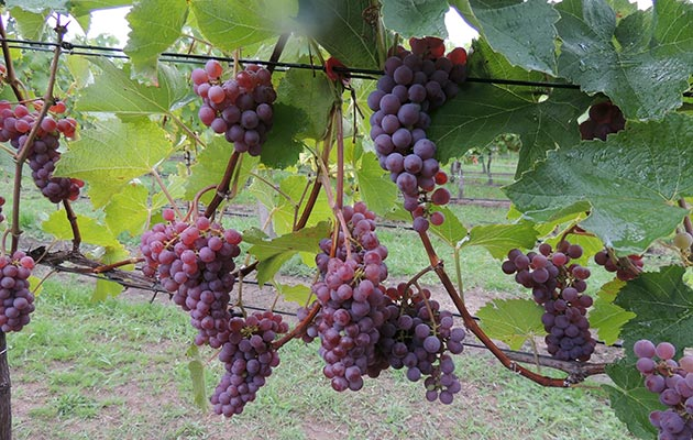 Werderaner Wachtelberg - Grapes ready for picking