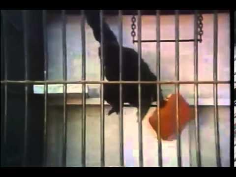 american tourister commercial gorilla