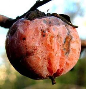QPR defender Anton Ferdinand would rather fondle rotten fruit than shake John Terry's hand