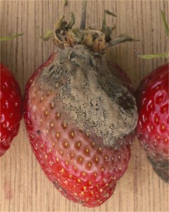 A rotten strawberry