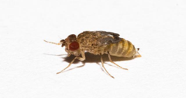 Wingless Drosophila hydei