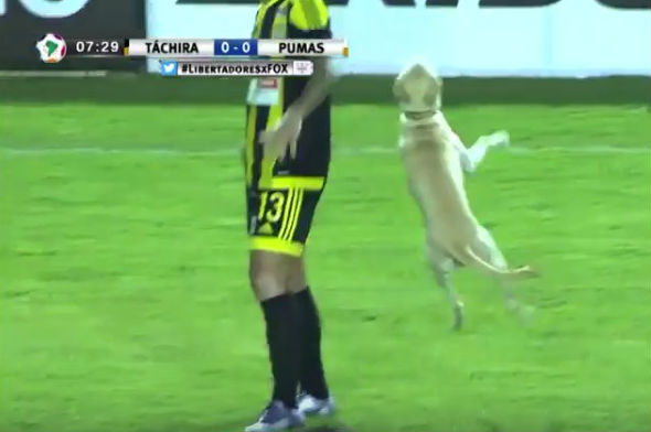 A dog invades the pitch during a Copa Libertadores clash between Táchira and Pumas