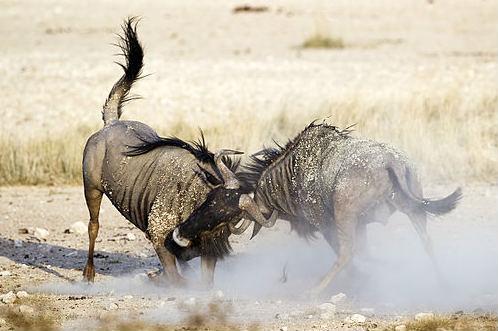A wildebeest-based representation of Stan Collymore v Joleon Lescott