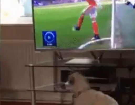 A dog looks for the ball after watching an Arsenal corner on TV