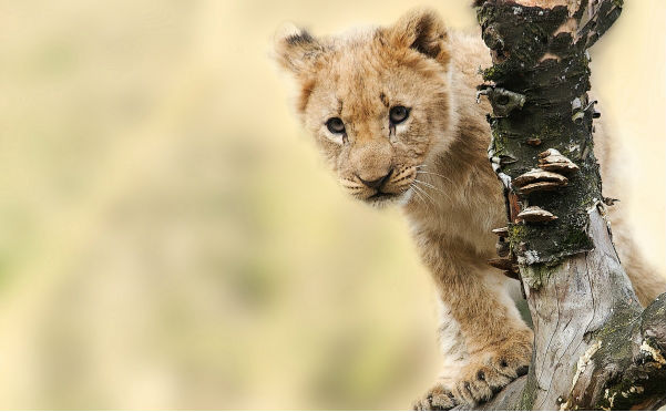 This lion cub represents England youth teams