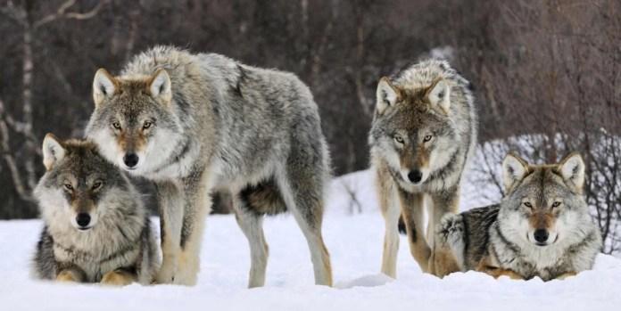 [Obrazek: WolfPack.jpg?resize=696%2C349&ssl=1]