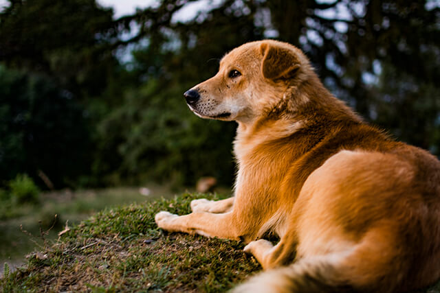 himalayas-dog-breed