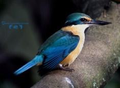 A beautiful little kingfisher bird.