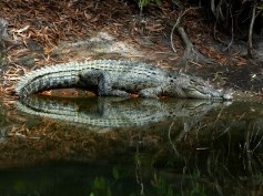 Crocodile in Cairns, Queensland.