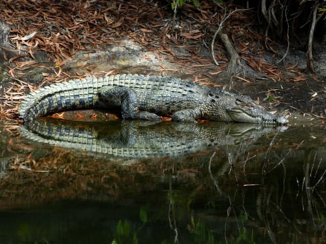 Crocodile in Cairns, Queensland.
