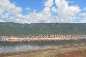 Flamingos 'in-flight' over Lake Bogoria..