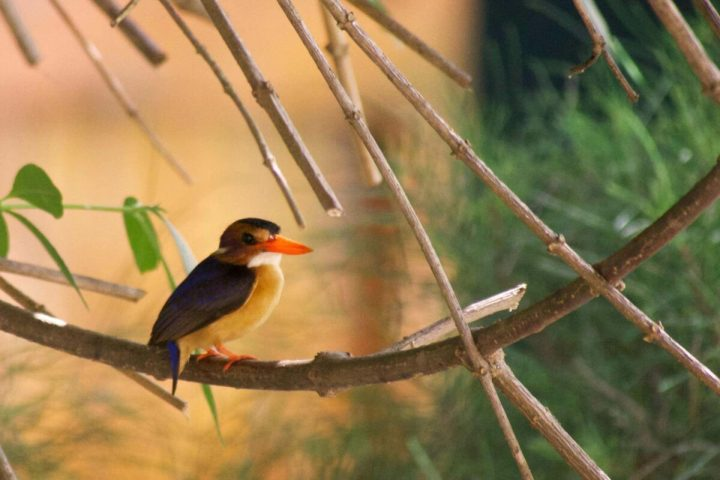 Birding for beginners| Fresh water pool | African Pygmy Kingfisher