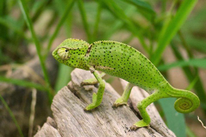 Gambia activities | Snakes & reptiles | chameleon