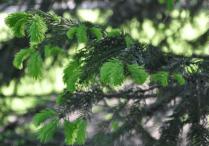 spruce leaf