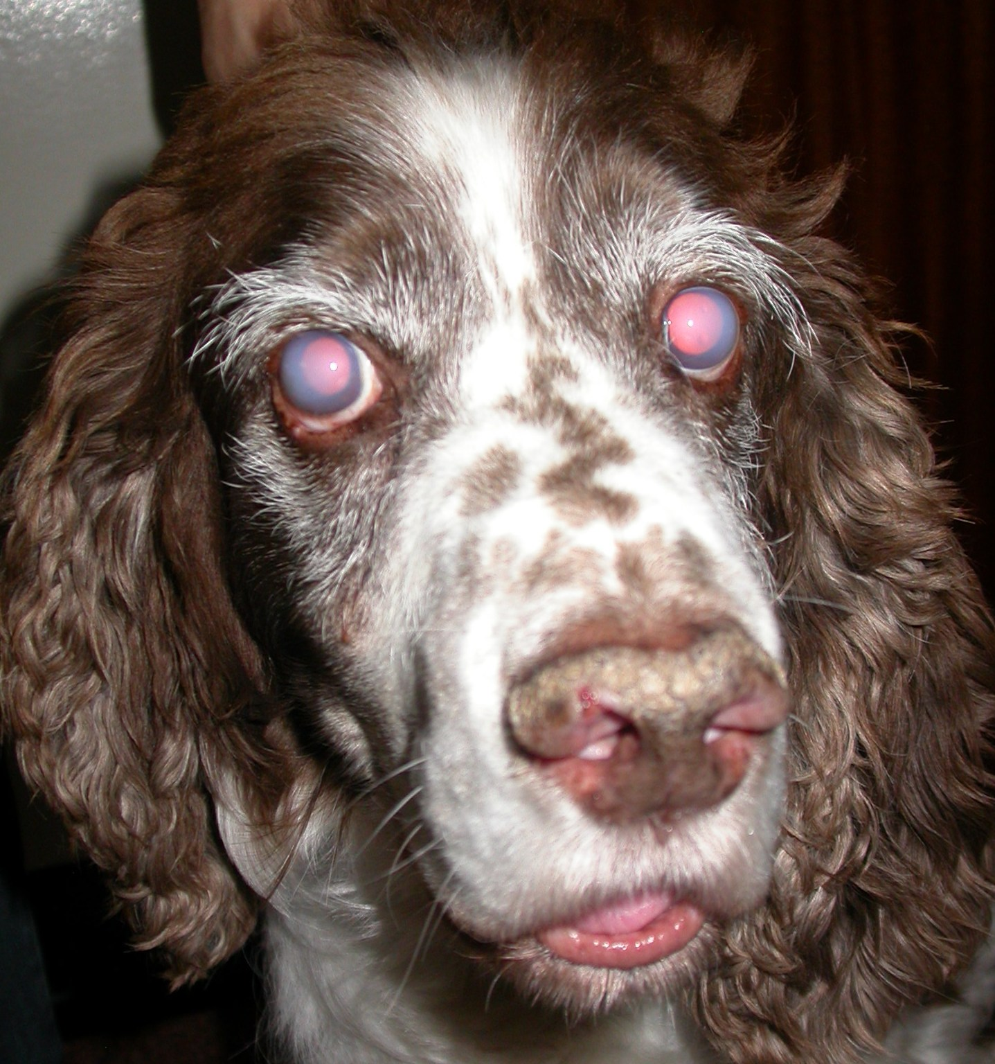 canine eye diagram broadband network information about glaucoma for dogs sake