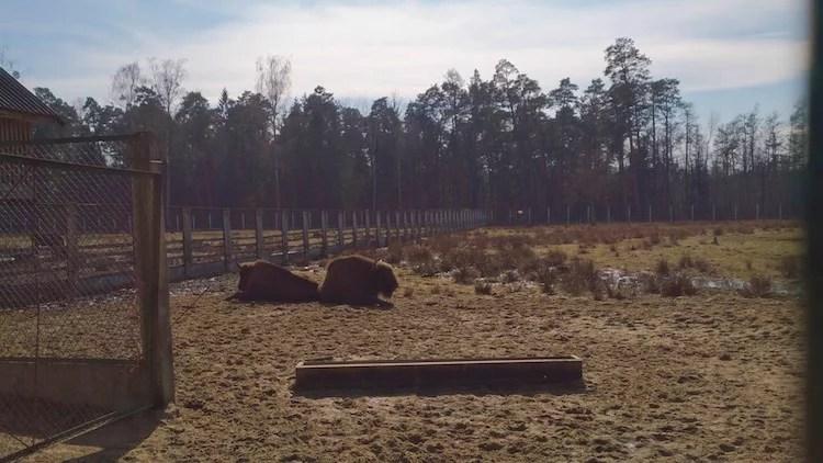 European Bison Belarus Belovezhskaya Pushcha National Park 2