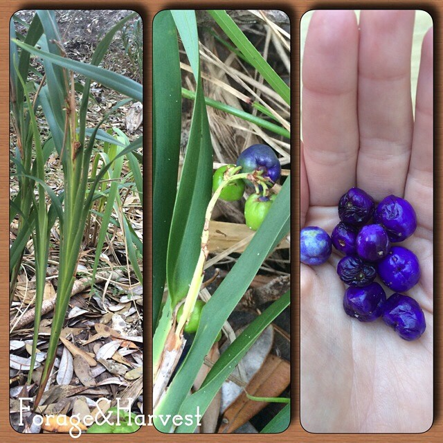 This was the very first plant my mother taught me. Dianella, named after Diana goddess of the forest. The taste a bit like grassy blueberries. A favourite of mine.