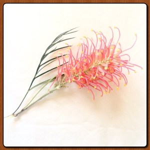 Grevillea Banksii - beautiful, and like all grevilleas, it has sweet edible nectar.