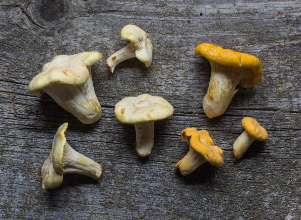 Golden and White Chanterelle Mushrooms