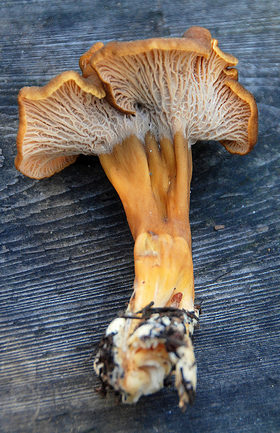 Yellow foot chanterelle