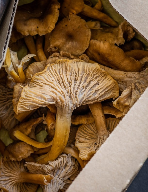 Yellowfoot chanterelles (2)