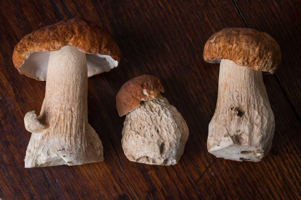 Boletus nobilissimus or atkinsonii porcini or king bolete from minnesota
