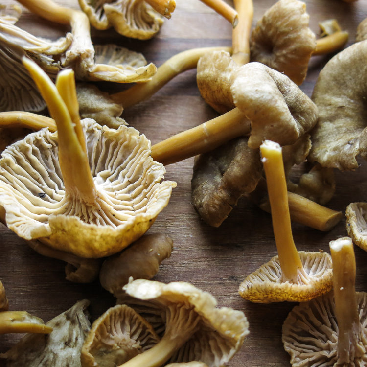 yellowfoot chanterelle mushrooms or craterellus tubaeformis