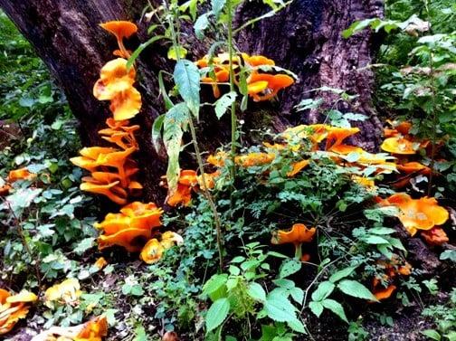 Massive Fruiting of Jack o lanterns
