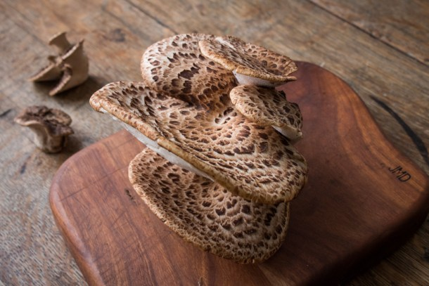 cerioporus squamosus dryad saddle or pheasant back mushroom