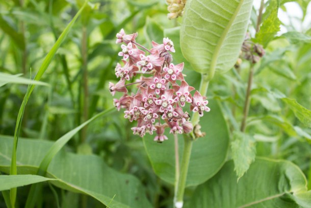 Edible Milkweed Flowers