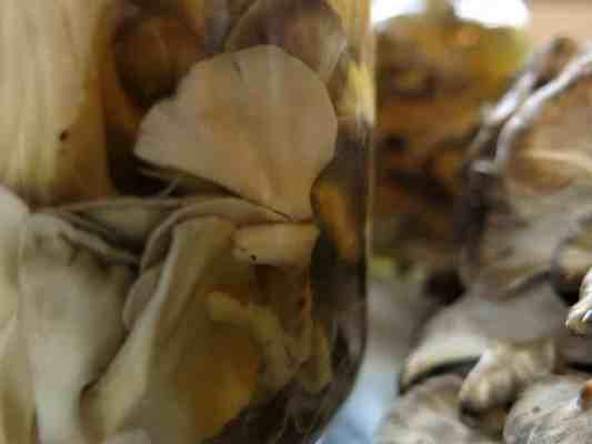 minnesota hen of the woods maitake sheepshead ramshead mushroom