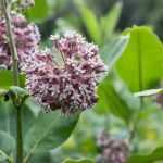 edible milkweed minnesota