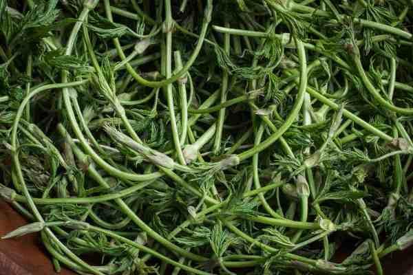 Wild edible hop shoots or Humulus lupulus