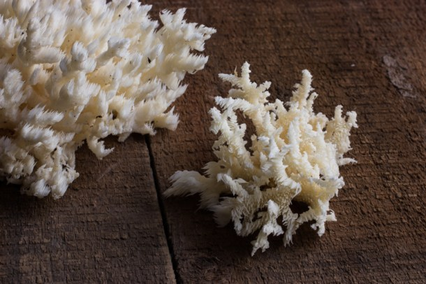 Hericium mushrooms or Hericium coralloides