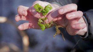 Foraging winter watercress