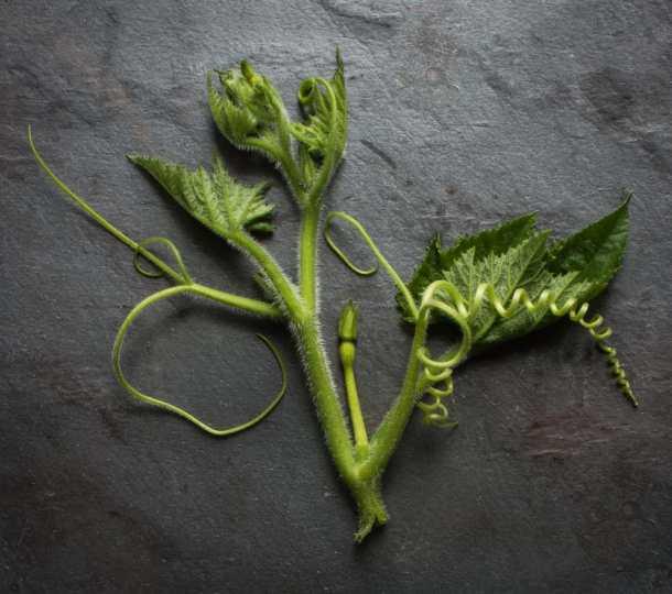 edible squash shoots