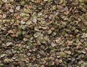 Cow Parsnip Seed