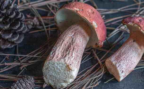 Pine Porcini Mushrooms