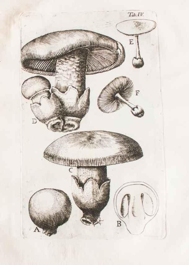 amanita fungorum