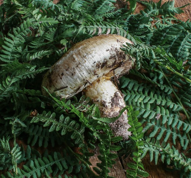 Minnesota Matsutake Mushroom