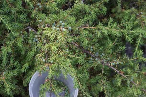 foraged wild juniper