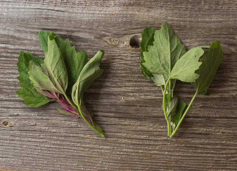 How to forage, store, and cook with lamb's quarters