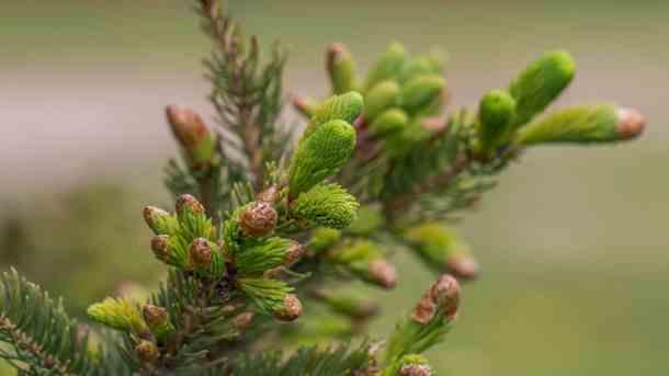 Edible Spruce Tips