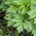 Edible sochan or Rudbeckia Laciniata