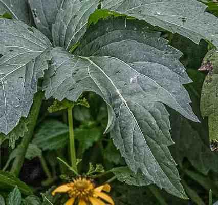 Edible fall leaves of sochan or Rudbeckia laciniata
