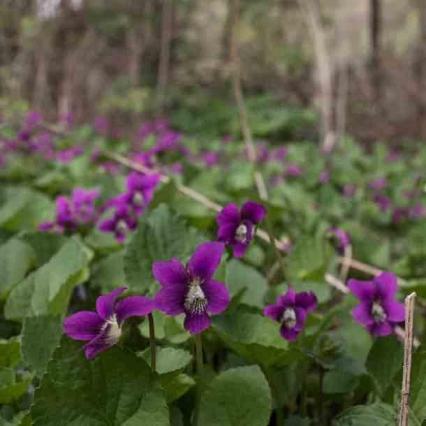 Wild edible violets