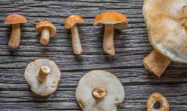 Gyroporus castaneus chestnut bolete mushroom
