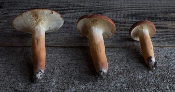 Lactifluus volemus edible milkcap mushrooms